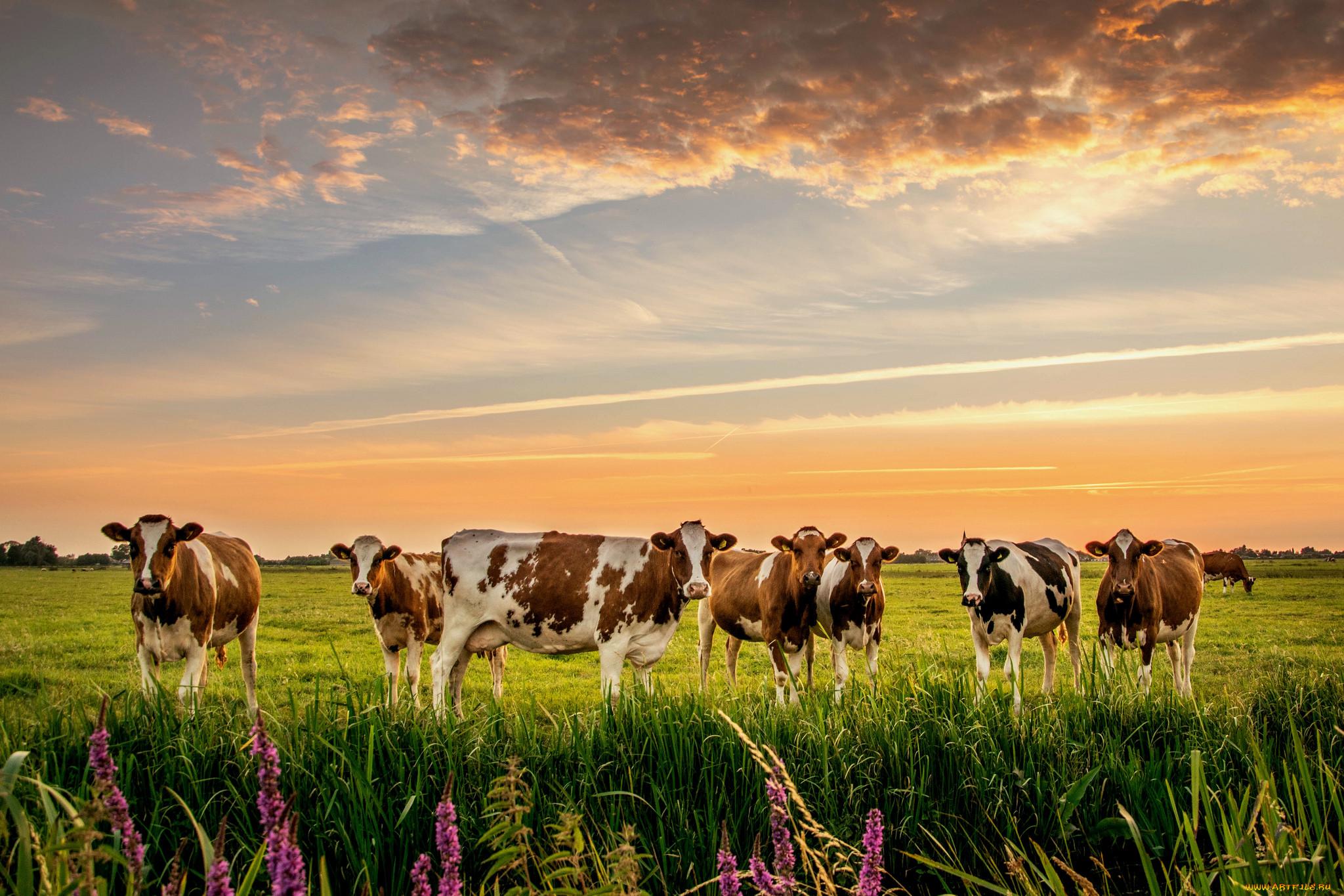 красивые картинки коровы на пастбище сейчас